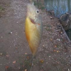 Persico Sole catturato al lago Sele (gestione fipsas)