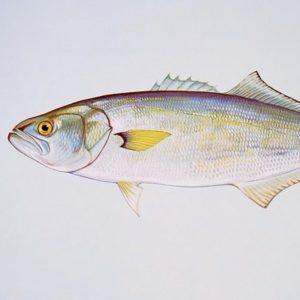 pesce serra - illustrazione
